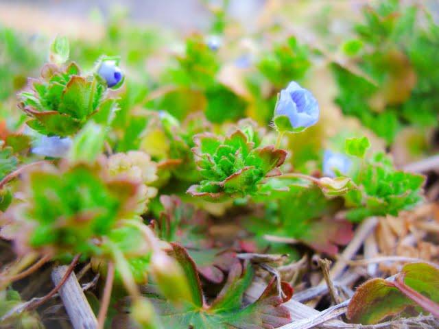 雨水草花が芽吹く