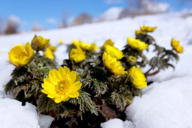 福寿草と名残雪