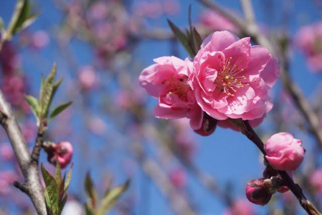 二十四節気 啓蟄 桃の花