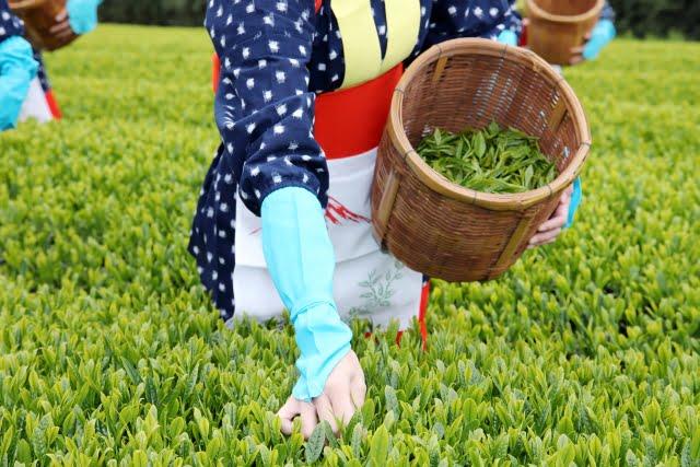 二十四節気穀雨茶摘み