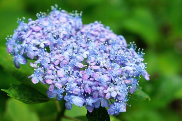 二十四節気 芒種 紫陽花