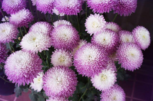 二十四節気 白露 菊